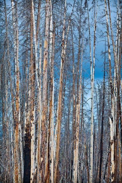 Forest Fire Photograph - Scarred Pines Yellowstone by Steve Gadomski