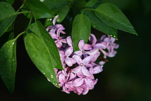 Wall Art - Photograph - Scent Of Lilac by Valia Bradshaw