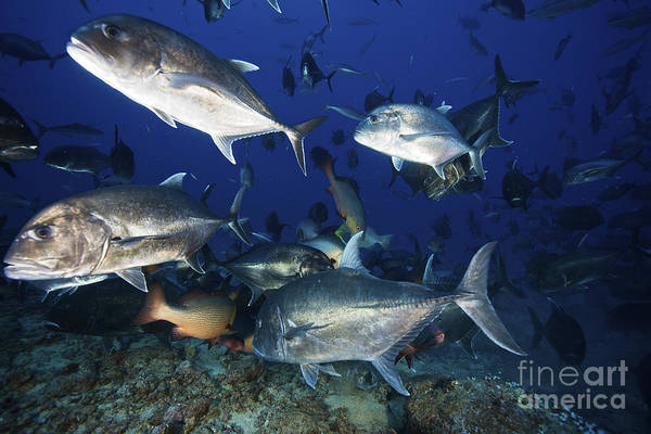 Trevally Photograph - Schooling Giant Trevally Muscle by Terry Moore