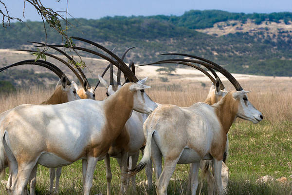 Photograph - Scimitar-horned Oryx by Ed Gleichman