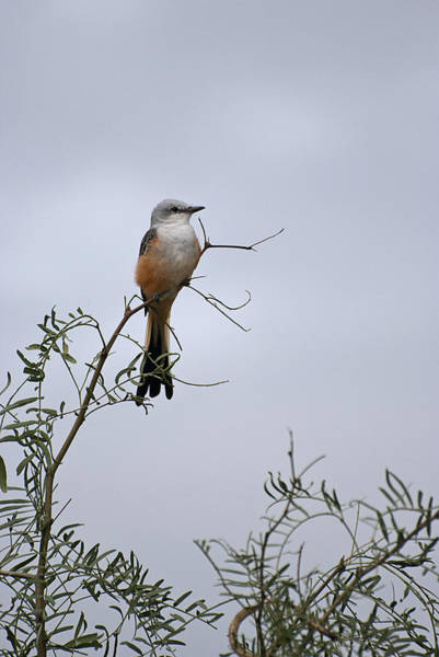 Photograph - Scissor Tailed Flycatcher by Melany Sarafis