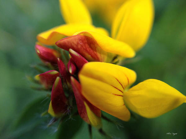 Photograph - Scotch Broom by Chriss Pagani