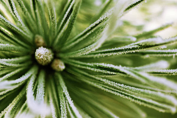 Photograph - Scotch Pine Close Up by Jan Vermeer