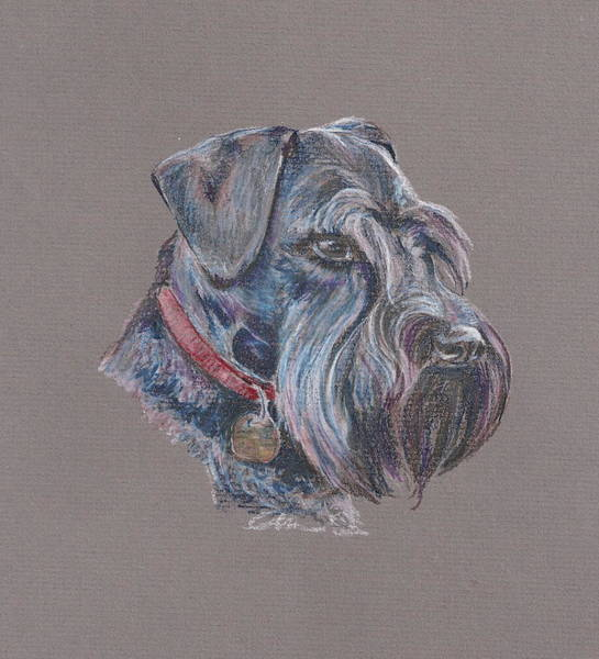 5ff8ee57 Schnauzers Drawing - Scottie by Amy DeRosa