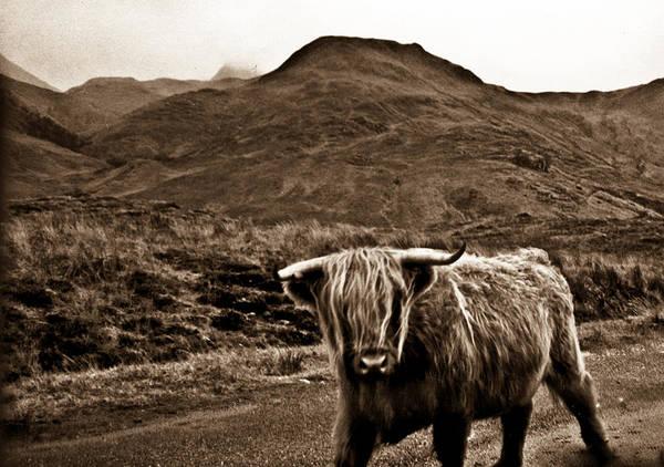 Wall Art - Photograph - Scruffy Higland Cow by Douglas Barnett