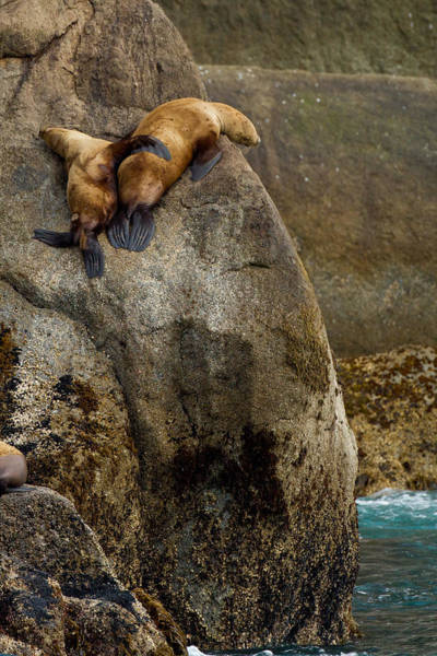 Photograph - Sea Lion Hug by Adam Pender
