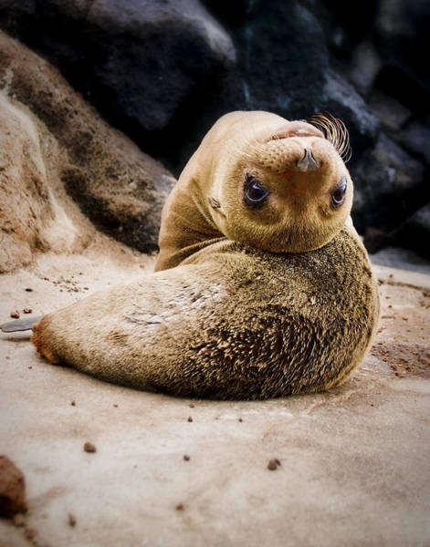 North Seymour Island Photograph - Sea Lion Pup by Ray Kent