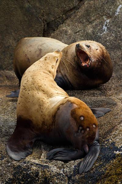 Photograph - Sea Lion Roar by Adam Pender