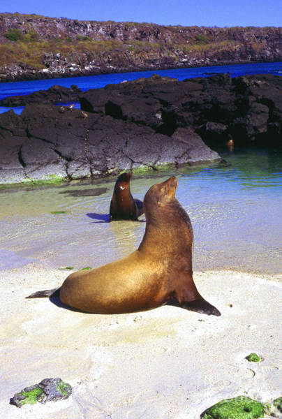 Photograph - Sea Lions On Genovesa Island by Thomas R Fletcher
