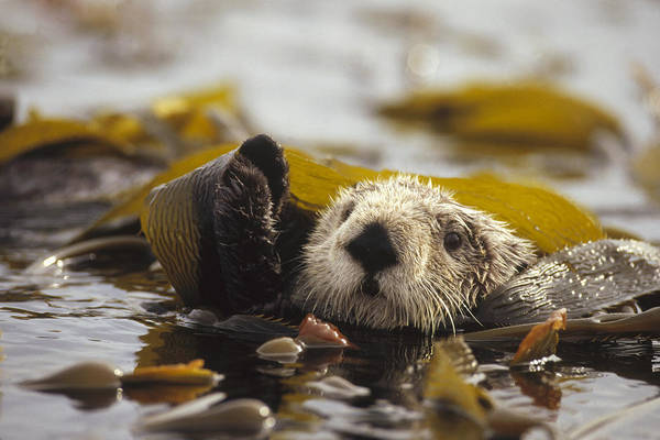 Photograph - Sea Otter Enhydra Lutris Floating by Gerry Ellis