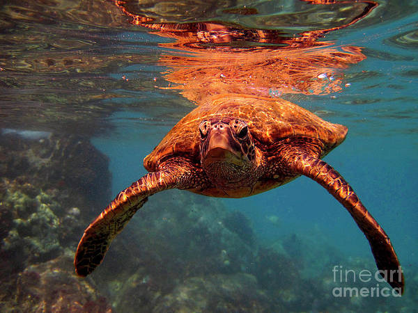 Photograph - Sea Turtle Reflections by Bette Phelan