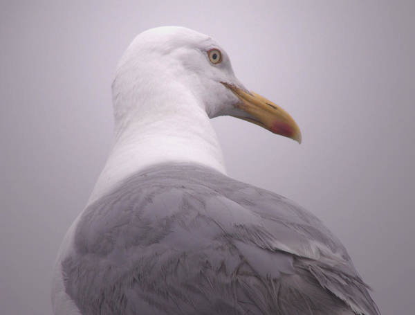 Photograph - Seagull Anticipating by Nancy Griswold