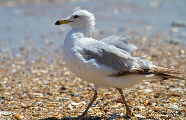 Gull Photograph - Seagull by Betsy Knapp