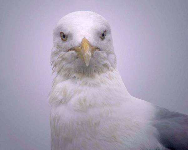 Photograph - Seagull by Nancy Griswold
