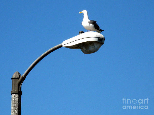 Photograph - Seagull On Street Light by Christopher Shellhammer