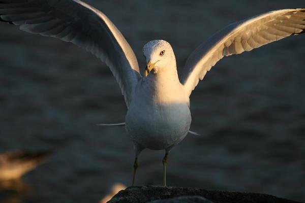 Water Birds Wall Art - Photograph - Seagulls At Sunset by Valia Bradshaw