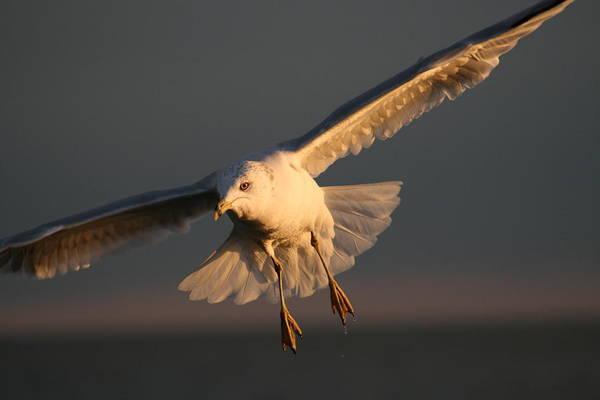 Water Birds Wall Art - Photograph - Seagulls In Flight At Sunset by Valia Bradshaw