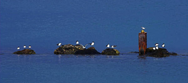 Wall Art - Photograph - Seagulls On Rocks-2- St Lucia by Chester Williams