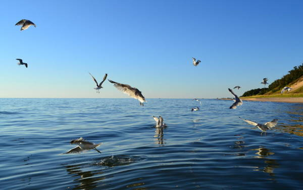 Holland State Park Photograph - Seagulls Over Lake Michigan by Michelle Calkins