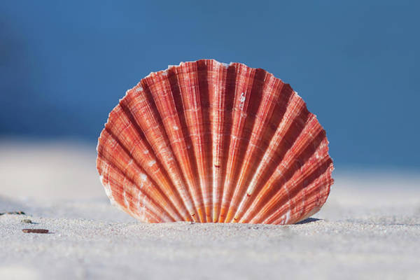 Horizontal Stripes Photograph - Seashell In Sand With Blue Ocean Background by Tanya Ann Photography