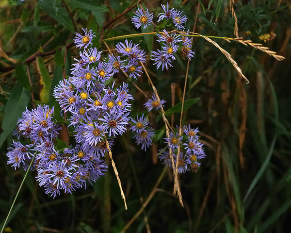 Aster Photograph - Seasonal Blues by Susan Capuano