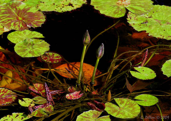 Photograph - Seasoned Lily Pads by Grace Dillon