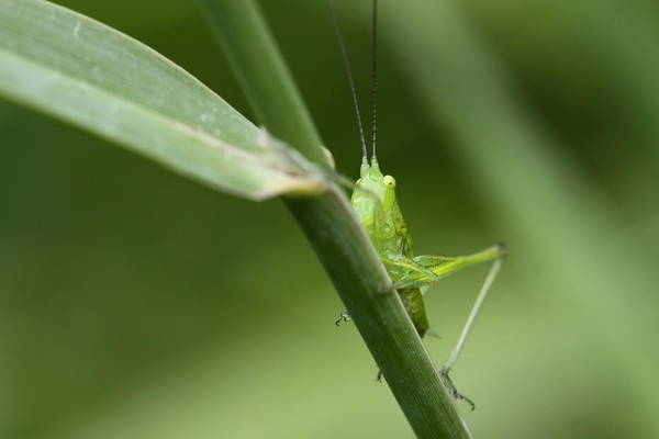 Photograph - Secretive Katydid by Brian Magnier