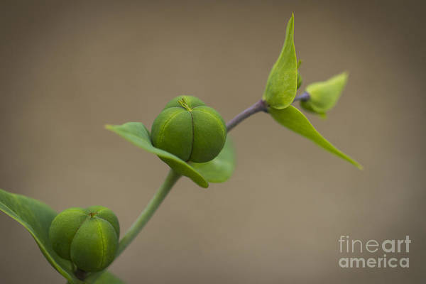 Photograph - Seed Pods by Clare Bambers