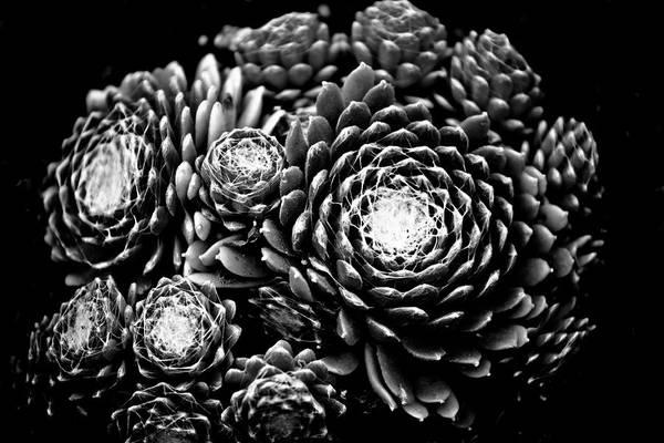 Hakon Photograph - Sempervivum by Hakon Soreide
