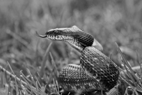Snake Wall Art - Photograph - Sense by Betsy Knapp