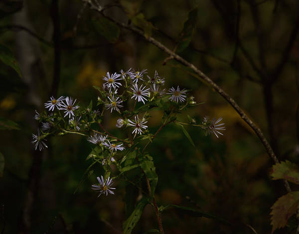 Aster Photograph - September Blues by Susan Capuano