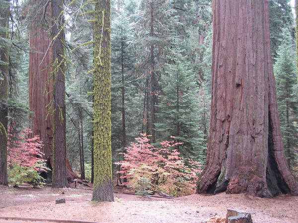 Sierra Nevada Photograph - Sequoia  Trees  by Naxart Studio