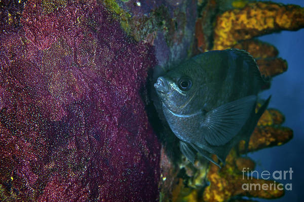 Pomacentridae Photograph - Sergeant Major Watches Over Its Eggs by Terry Moore