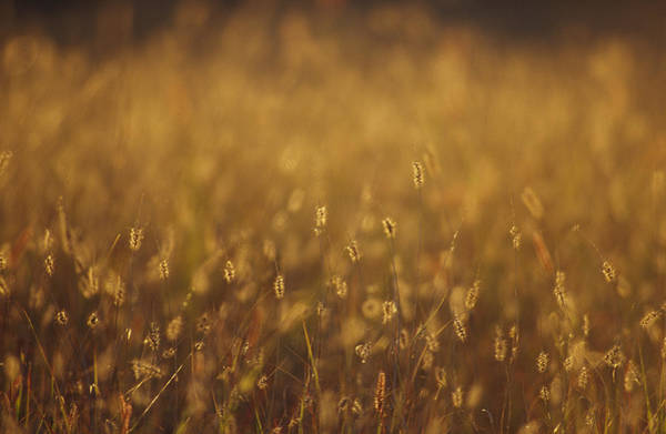 Epping Wall Art - Photograph - Setaria Native Grasses Are Backlit by Jason Edwards