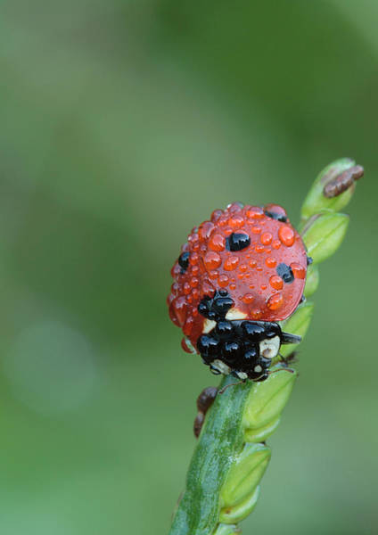 Photograph - Seven-spotted Lady Beetle On Grass With Dew by Daniel Reed