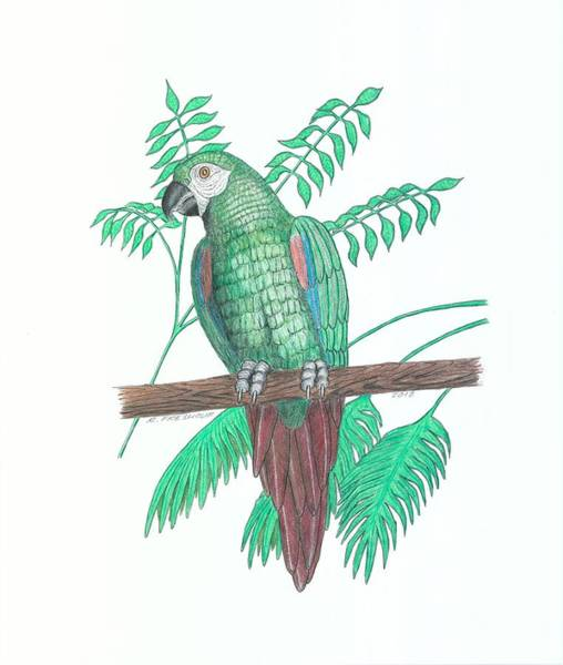 Green Parrot Drawing - Severe Macaw by Richard Freshour