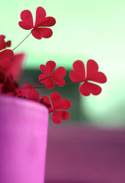 Photograph - Shamrock Pot IIi by Emanuel Tanjala
