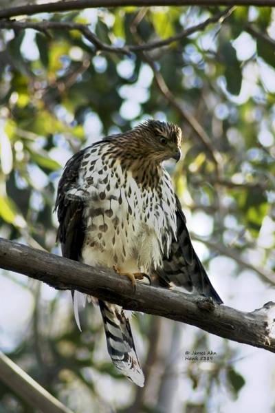 Sharp Shinned Hawk - Winged Stare -5459 Art Print