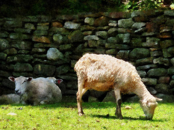 Photograph - Sheep By Stone Wall by Susan Savad