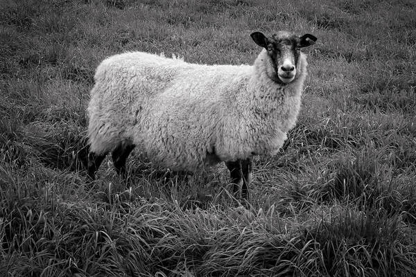 Photograph - Sheep In Monochrome by Ari Salmela