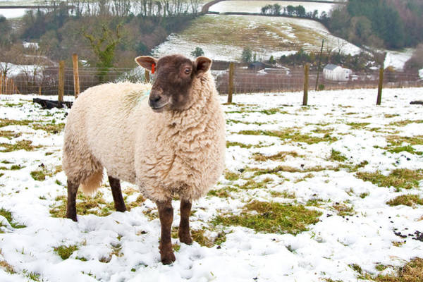 Smallholding Photograph - Sheep by Tom Gowanlock