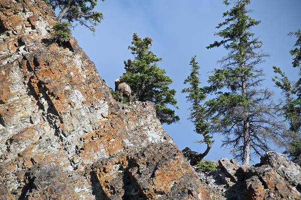 Photograph - Sheep Topside by David Kleinsasser