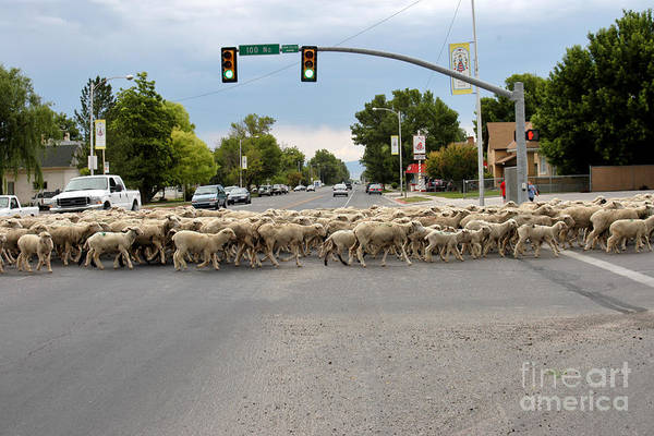Photograph - Sheeps Crossing by Craig Leaper