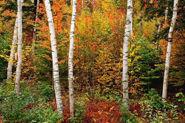 Photograph - Shelburne Birches 2 by Nancy De Flon