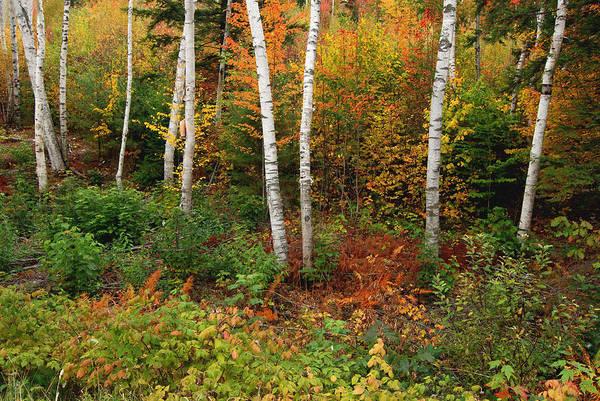 Photograph - Shelburne Birches by Nancy De Flon