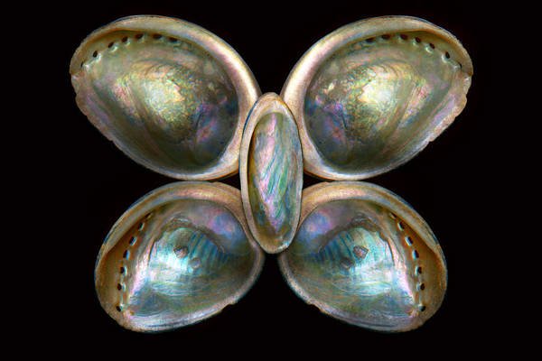 Photograph - Shell - Conchology - Devine Pearlescence by Mike Savad