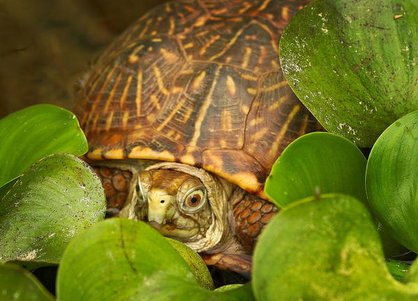 Box Turtle Photograph - Shelly The Box Turtle by Jean Noren