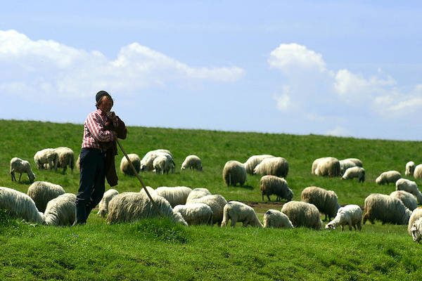 Photograph - Shepherd And Flock by Emanuel Tanjala