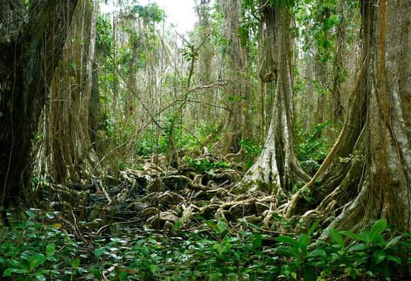 Cahuita Photograph - Shorelines Unwelcoming Tangle Of Roots And Vines by William OBrien