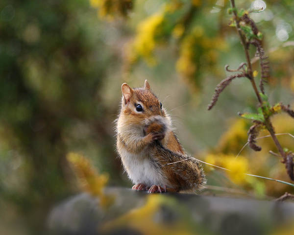 Squirrel Photograph - Shy Little Chipmunk by Susan Capuano